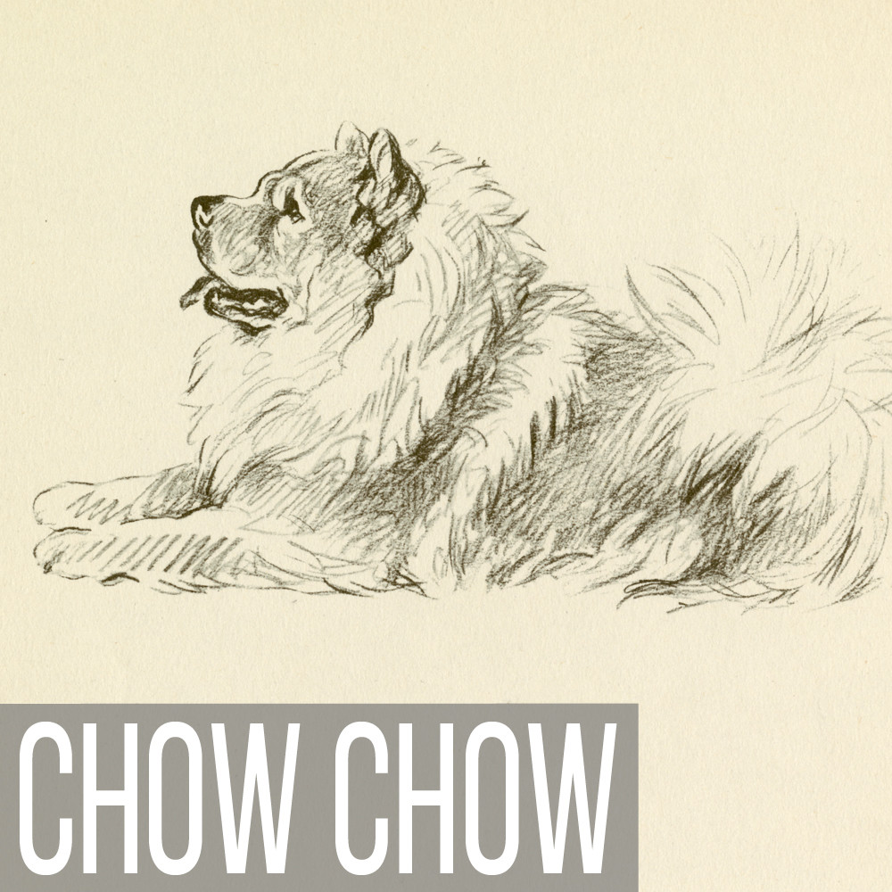 Chow Chow art print reproductions