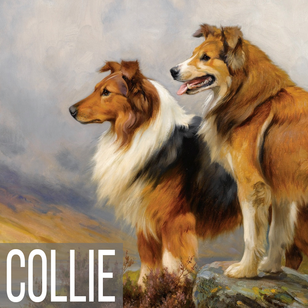 Collie art print reproductions
