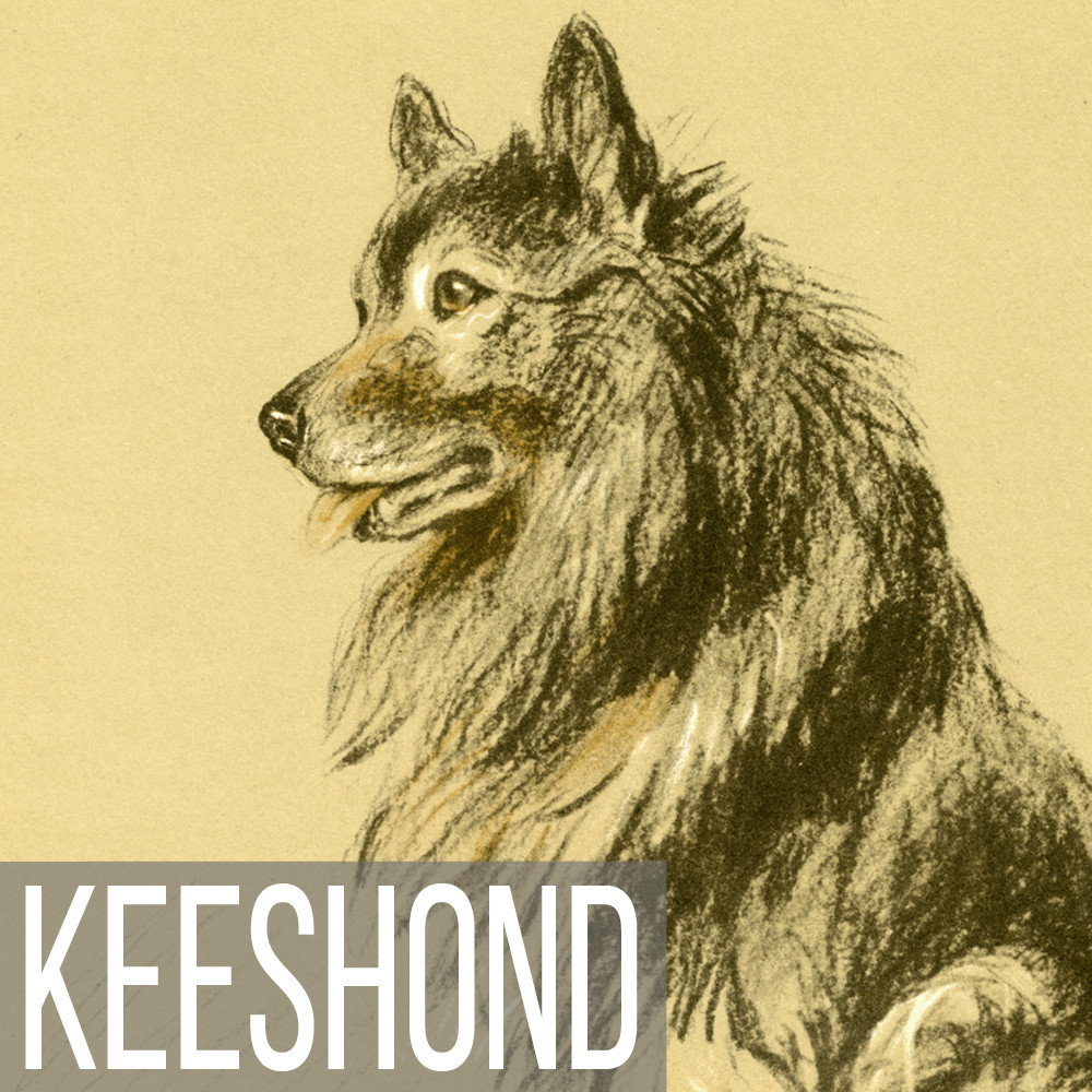 Keeshond art print reproductions