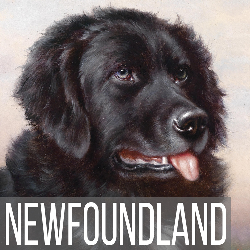 Newfoundland and Newfie art print reproductions