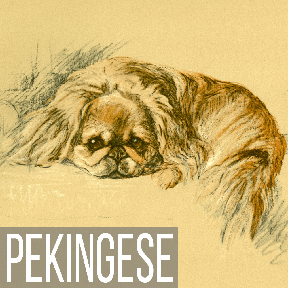 Pekingese art print reproductions