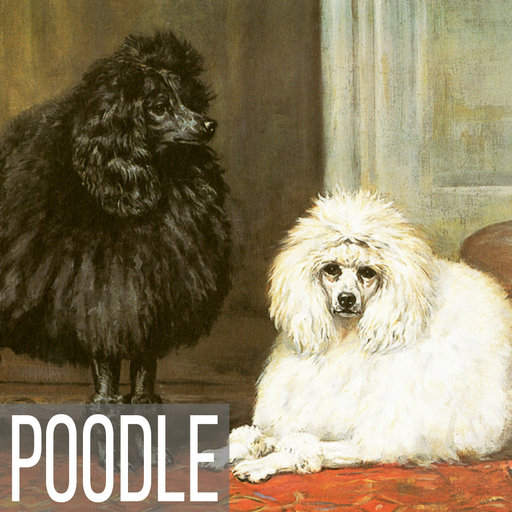 Poodle art print reproductions