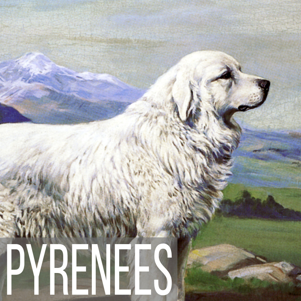 Great Pyrenees art print reproductions