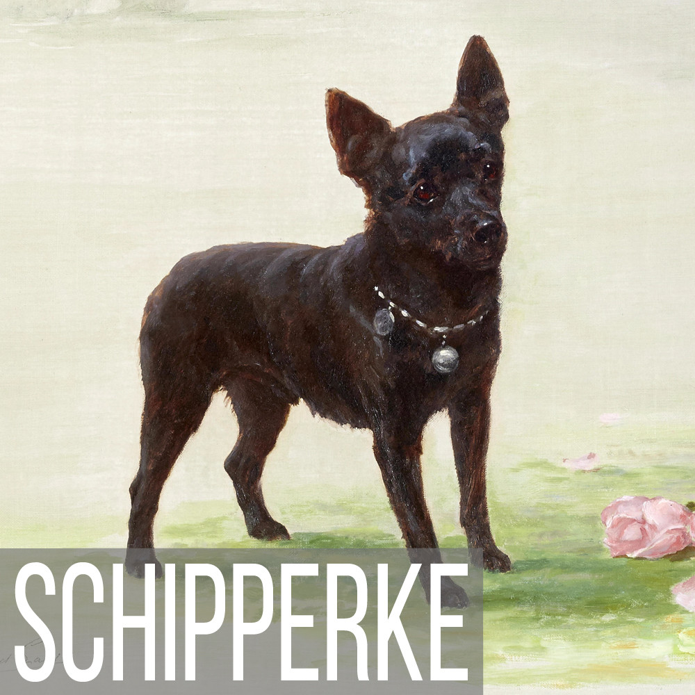 Schipperke art print reproductions