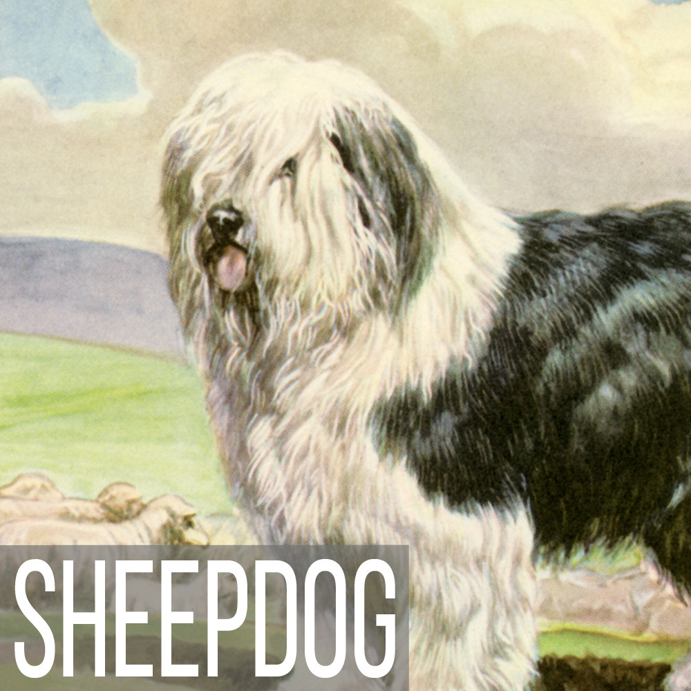 Sheepdog art print reproductions