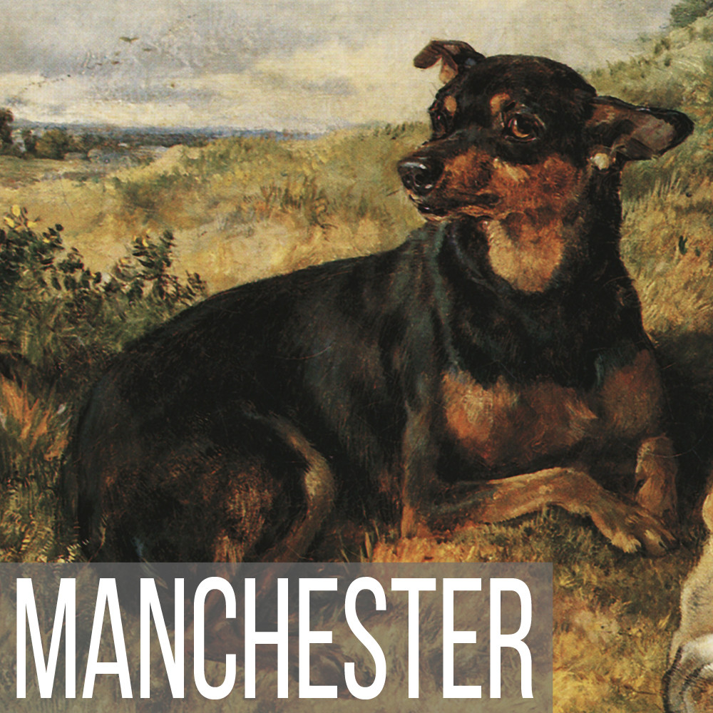 Manchester Terrier art print reproductions
