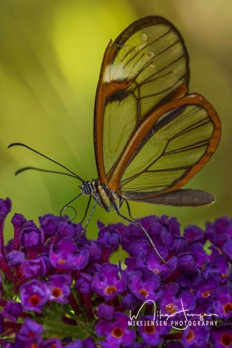 Glasswing Butterfly On Purple Bush