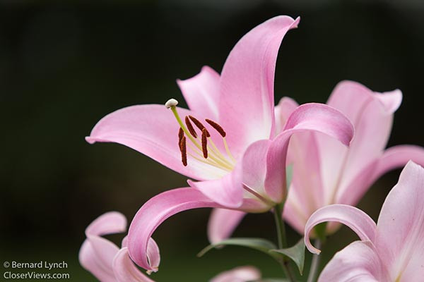flowering lily with dark background