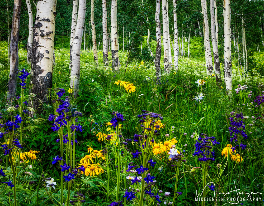Wildflowers In Crested Butte Colorado.  Image for sale as art at MikeJensen.Photography.