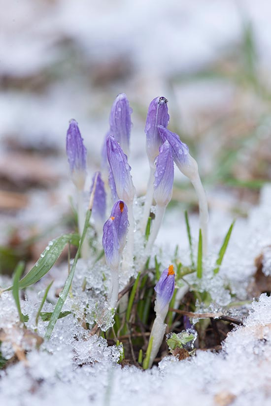 Early spring crocus pushing aside the snow
