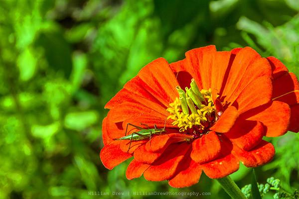 Jiminy Cricket on my flower!