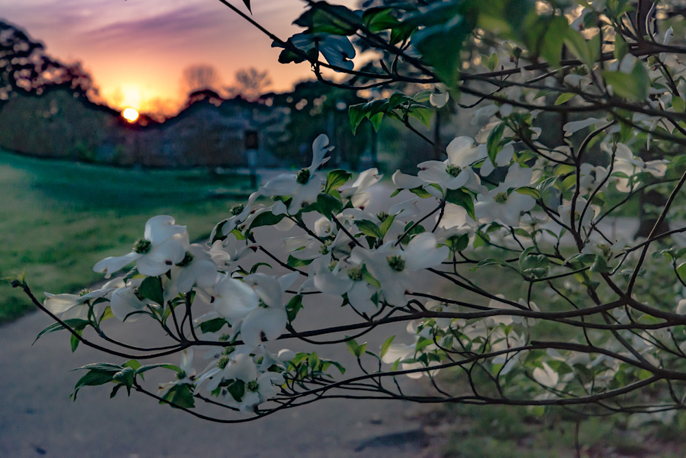 A sunrise seen through the Dogwood tree