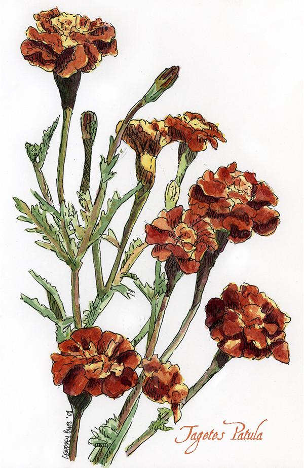 october birth flower marigold