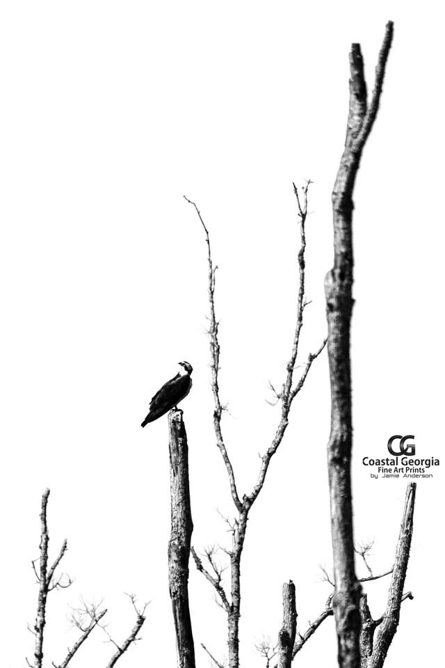 Osprey Perch