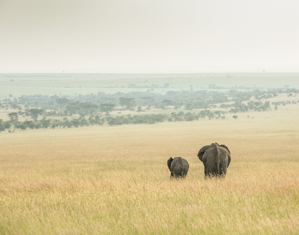 elephants walking out on savana Save Elephants