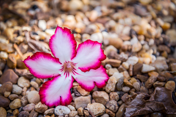 A beautiful bloom that's fallen off the tree and onto the rocks at the Atlantna Botanical Gardens