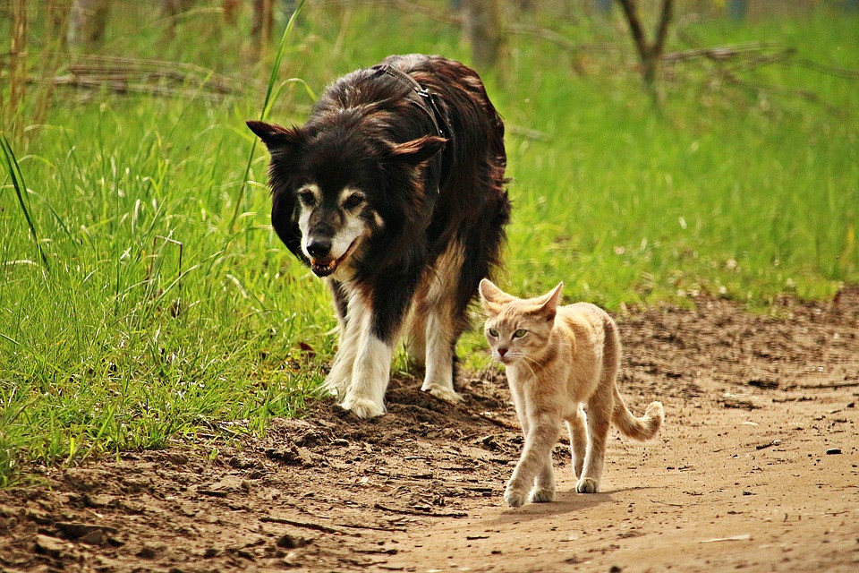 cat and dog walking
