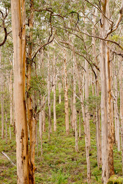 Karri trees photograph by Ivy Ho