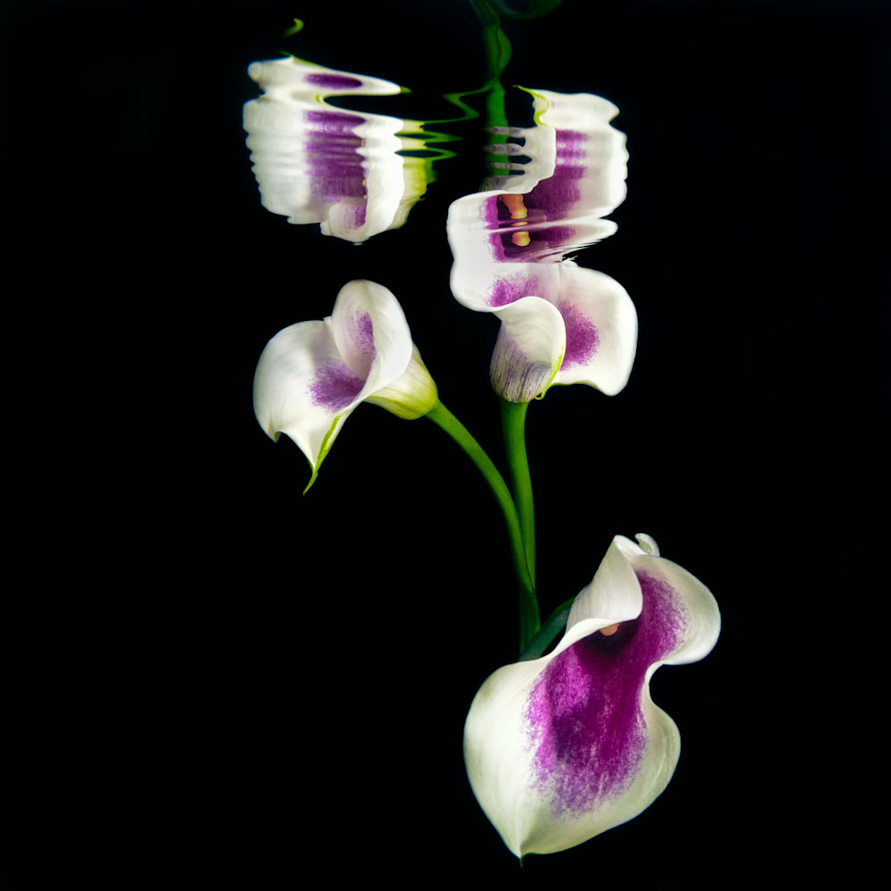 Fine Art image of Cala lilies