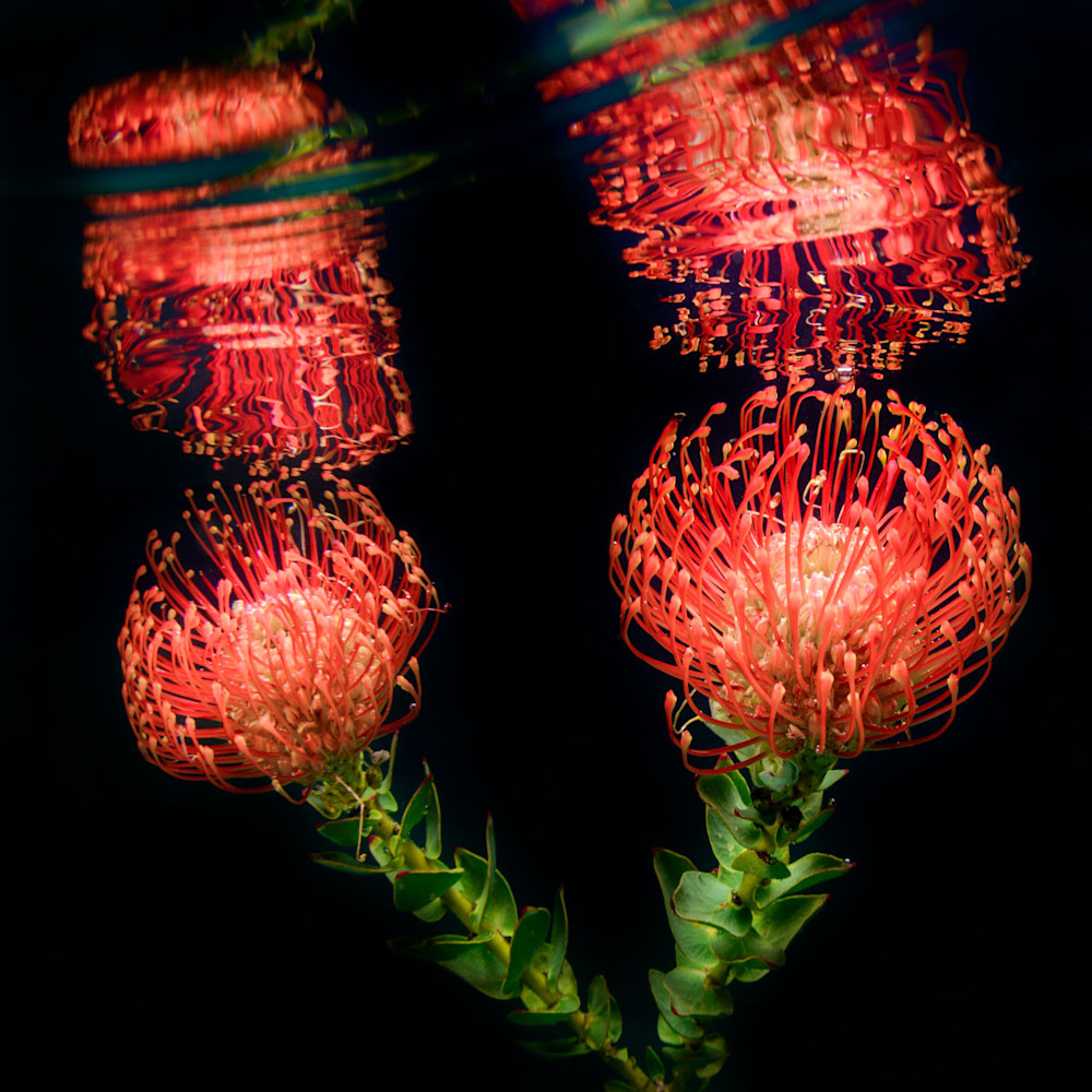 Pincushion Protea in an abstract underwater image