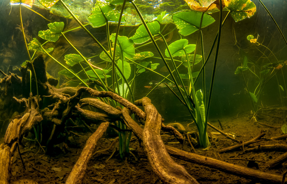 Yellow Water Lily reflecting underwater in a local swamp.