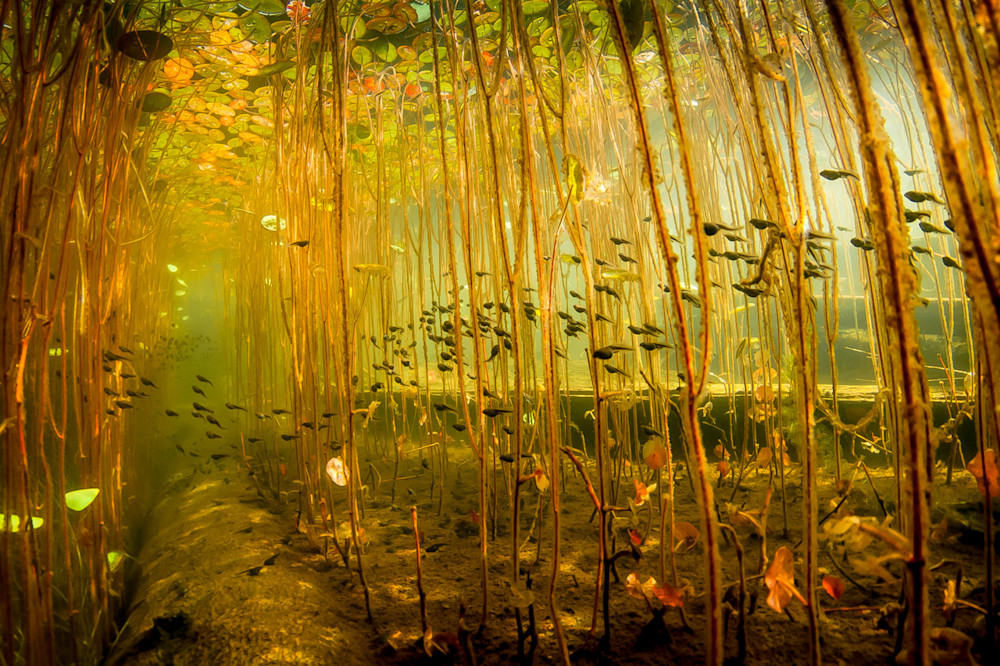 Cloud of tadpoles streams through the lily stalks in cedar lake near Campbell River