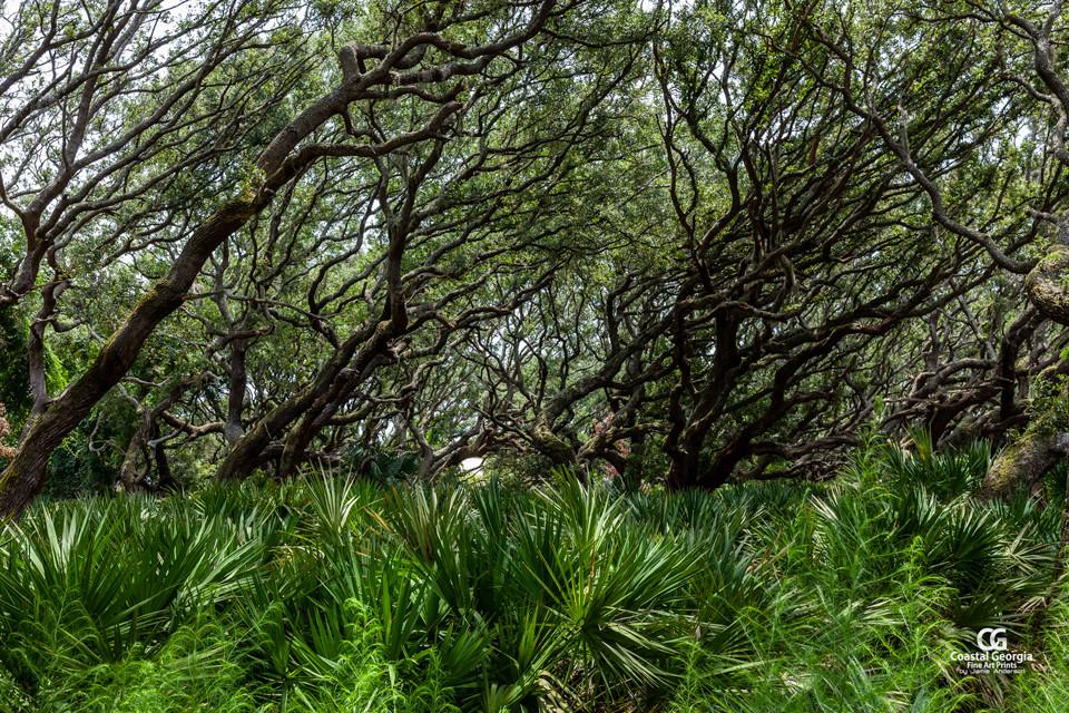 Cumberland Island Canopy 2