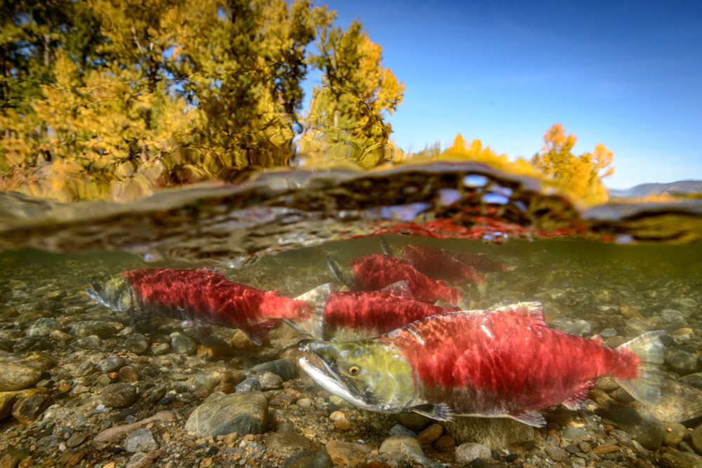 sockeye salmon in the Adams river with fall colours on trees