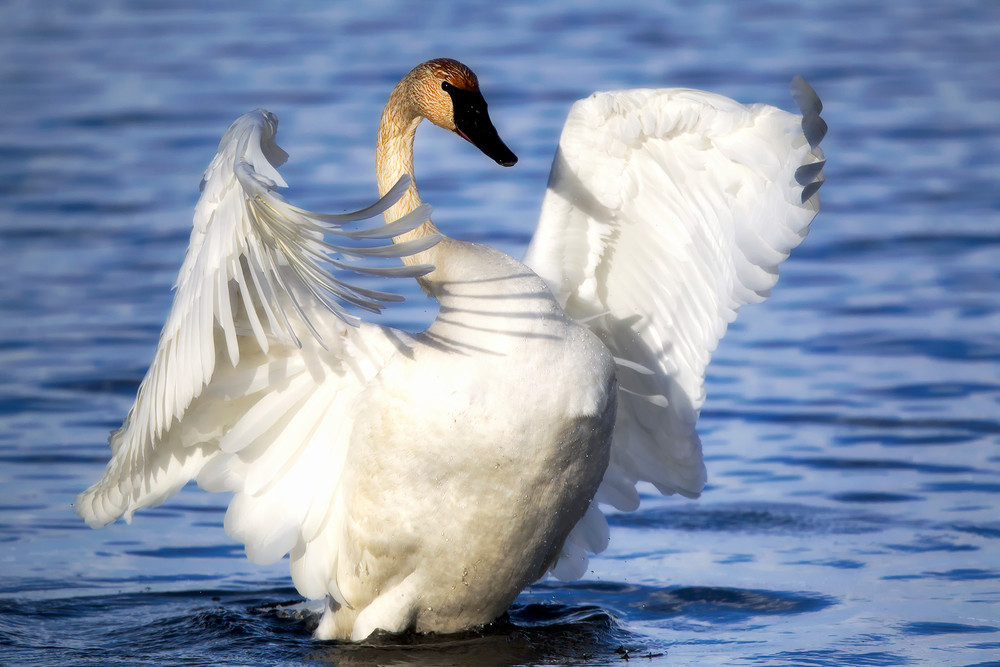Trumpeter Swan By Robbie George Photography