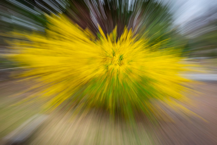 A zoom burst photo of a beautiful yellow Forsythia in full bloom