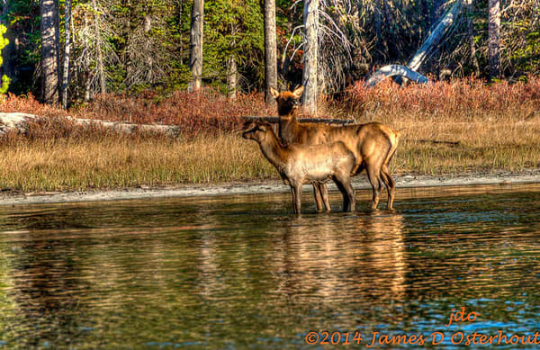 Elk And Calf.Jpg Photography Art | Swan Valley Photo