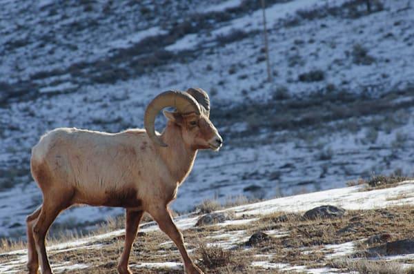 Rocky Mountain Sheep.Jpg Photography Art | Swan Valley Photo