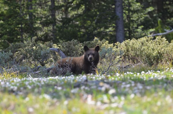 Black Bear Cub.Jpg Photography Art | Swan Valley Photo