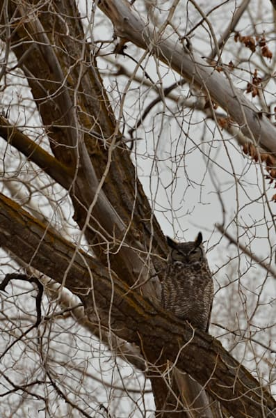 Great Horn Owl.Jpg Photography Art | Swan Valley Photo