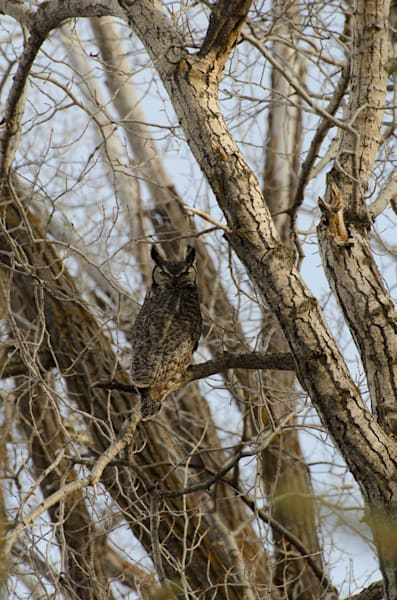 Great Horn Owl Male4976 Ftw  Dbtafy.Jpg Photography Art | Swan Valley Photo