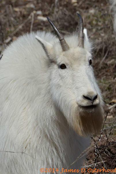 Old Bill Goat.Jpg Photography Art | Swan Valley Photo