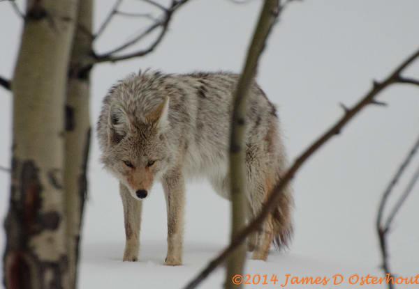 Cycote Hunting.Jpg Photography Art | Swan Valley Photo
