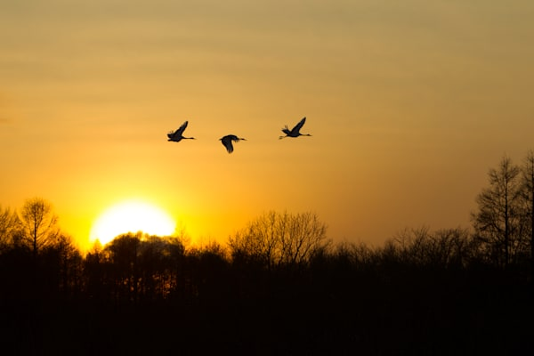 Sunset Flight of the Cranes