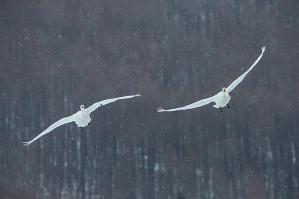 Swan Tilde