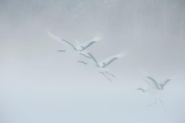 Cranes Take Flight in Snow Storm