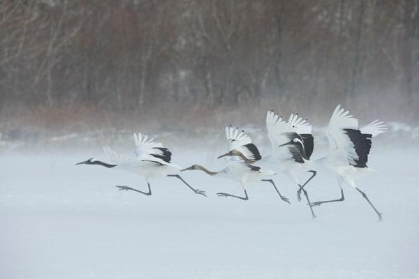 Crane Family Takes Flight in Snow Storm