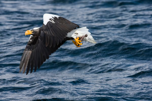 Steller's Sea Eagle Catching a Fish