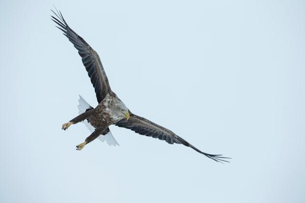White-Tailed Eagle Manoeuvre