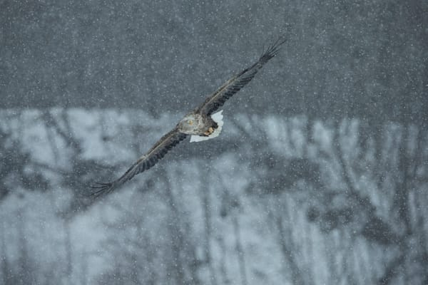 White-Tailed Eagle in Snow