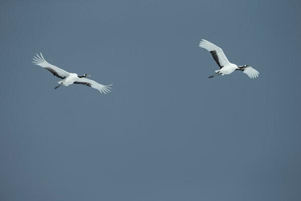 Cranes on Grey