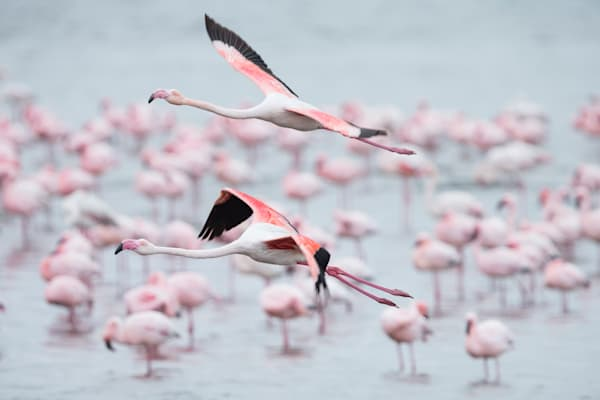 Flamingo Flyby