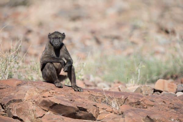 Sitting Chacma Baboon