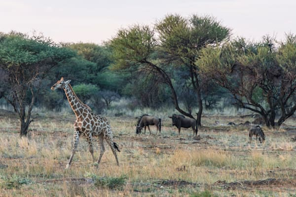 Giraffe & Wildebeest