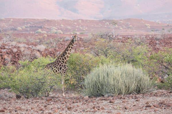 Giraffe's Regard