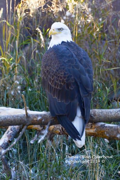 Yellowstone eagle, bald eagle